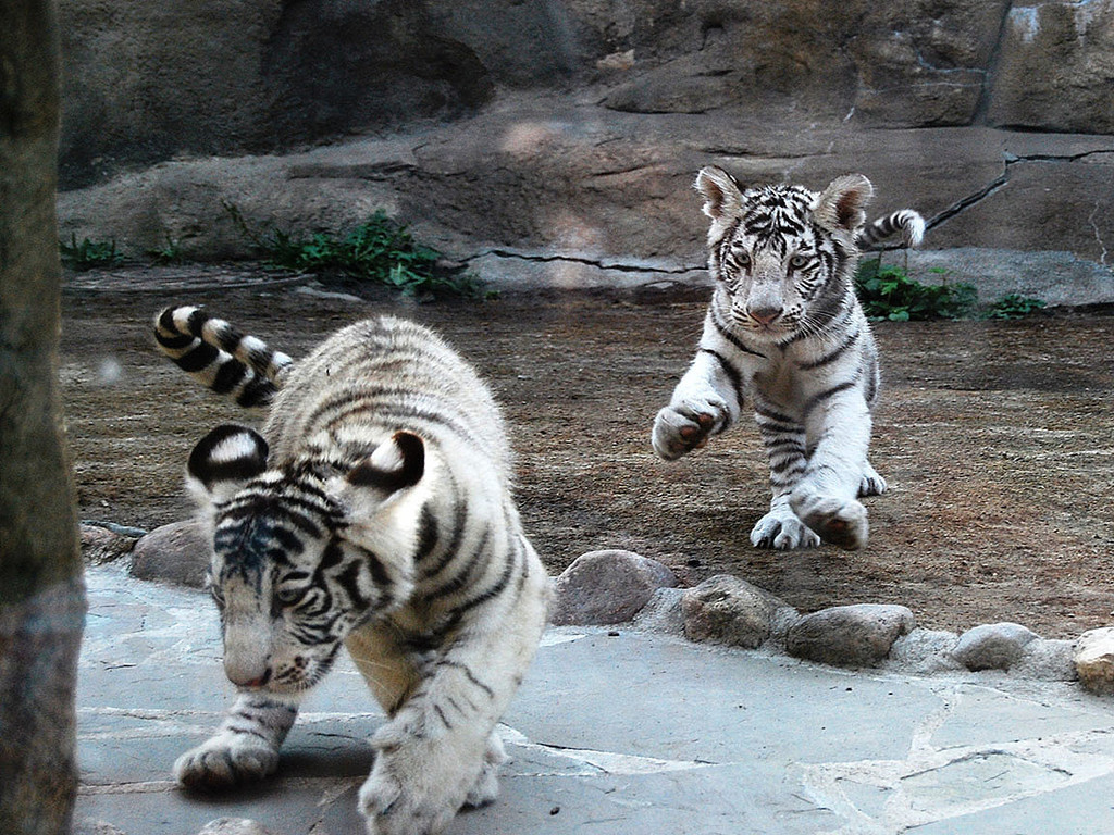 Picture White tiger cubs pictures wallpaper download screensaver on 1024x768