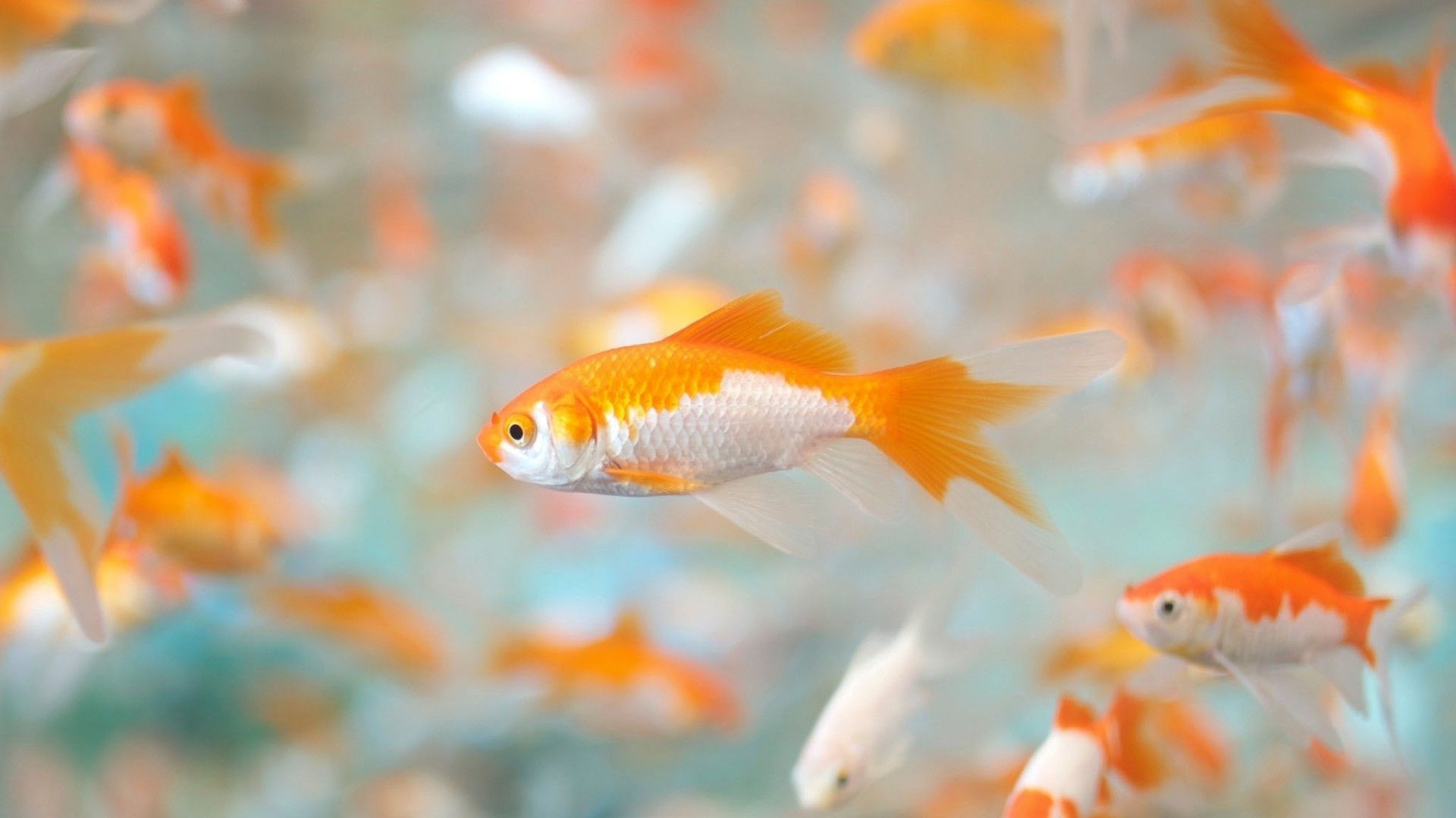 Pin by Lyudmila Parkhomchuk on Beautiful Wallpapers Goldfish 1920x1080