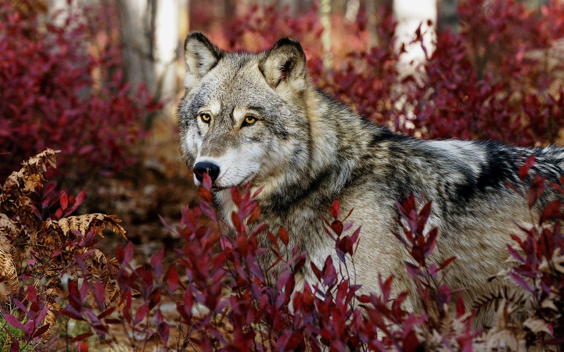 Gray Wolf Wallpapers HD Wallpapers 1920x1200
