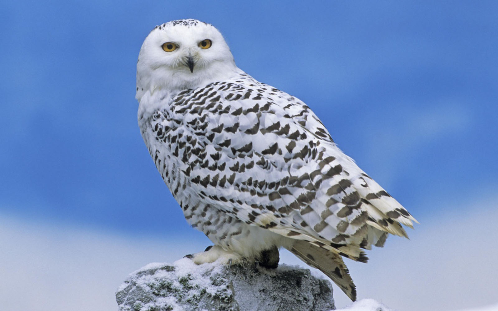 Free download White Owl Wallpapers 1600x1000 for your ...