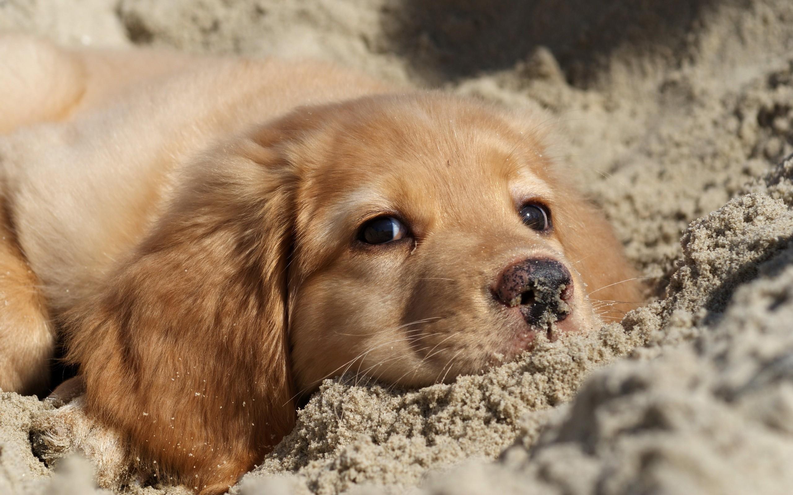 Free Download Golden Retriever Puppy Wallpaper Background
