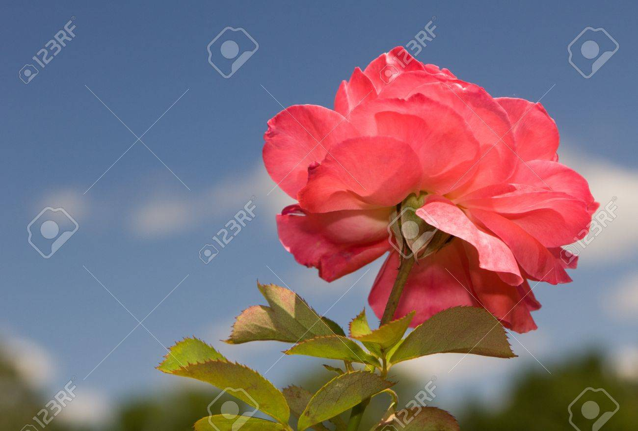 A Single Rose The Color Of Sherbert With Blue Sky Background Stock 1300x878