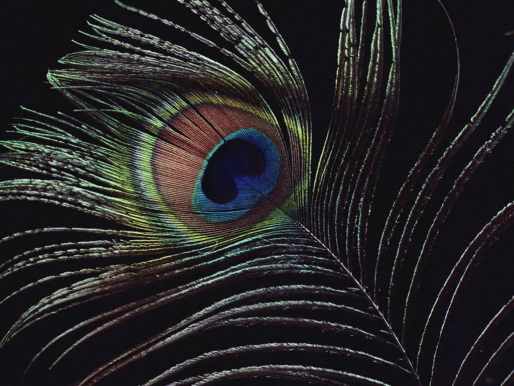 Peacock Feathers Wallpapers Wallpaper HD Online 1024x768