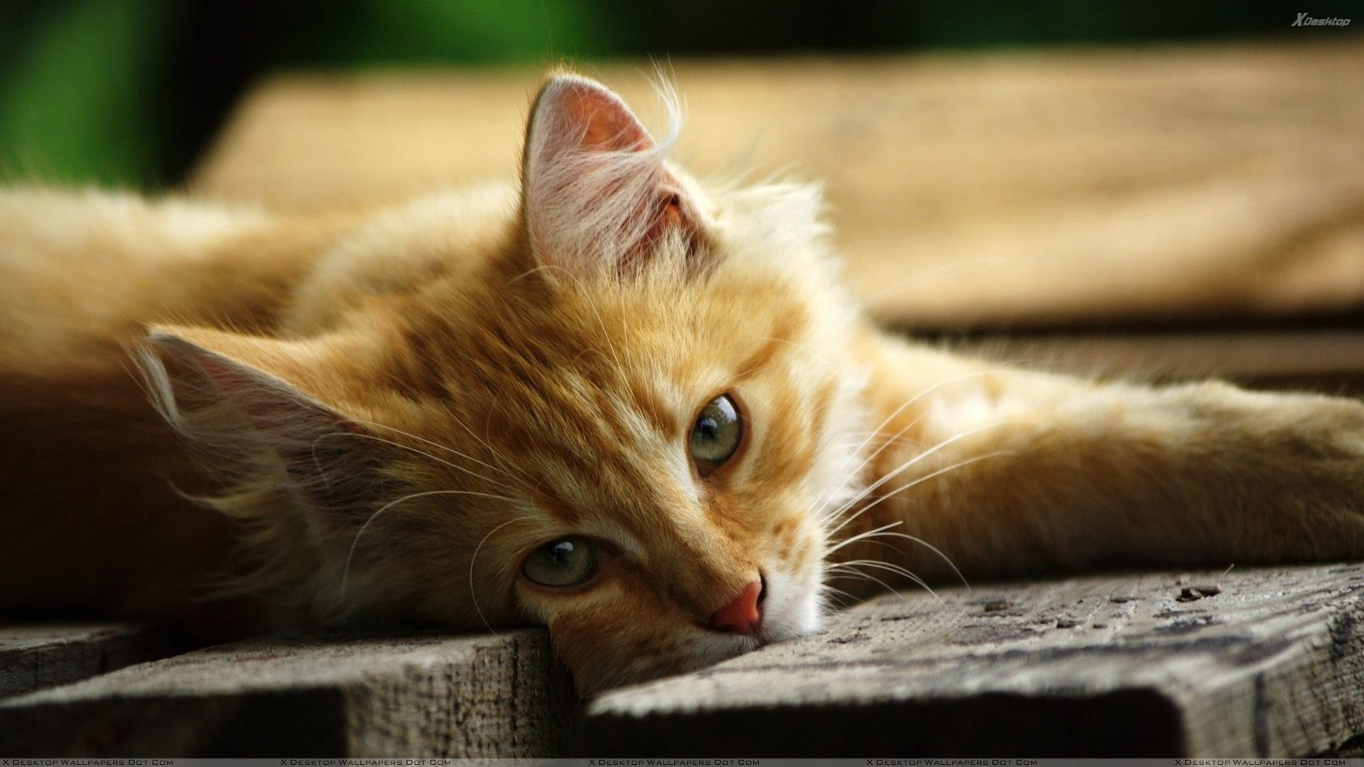 10 Best Hd Cute Cat Wallpapers Full Hd 1080p For Pc: HD Cat Wallpapers 1920x1080