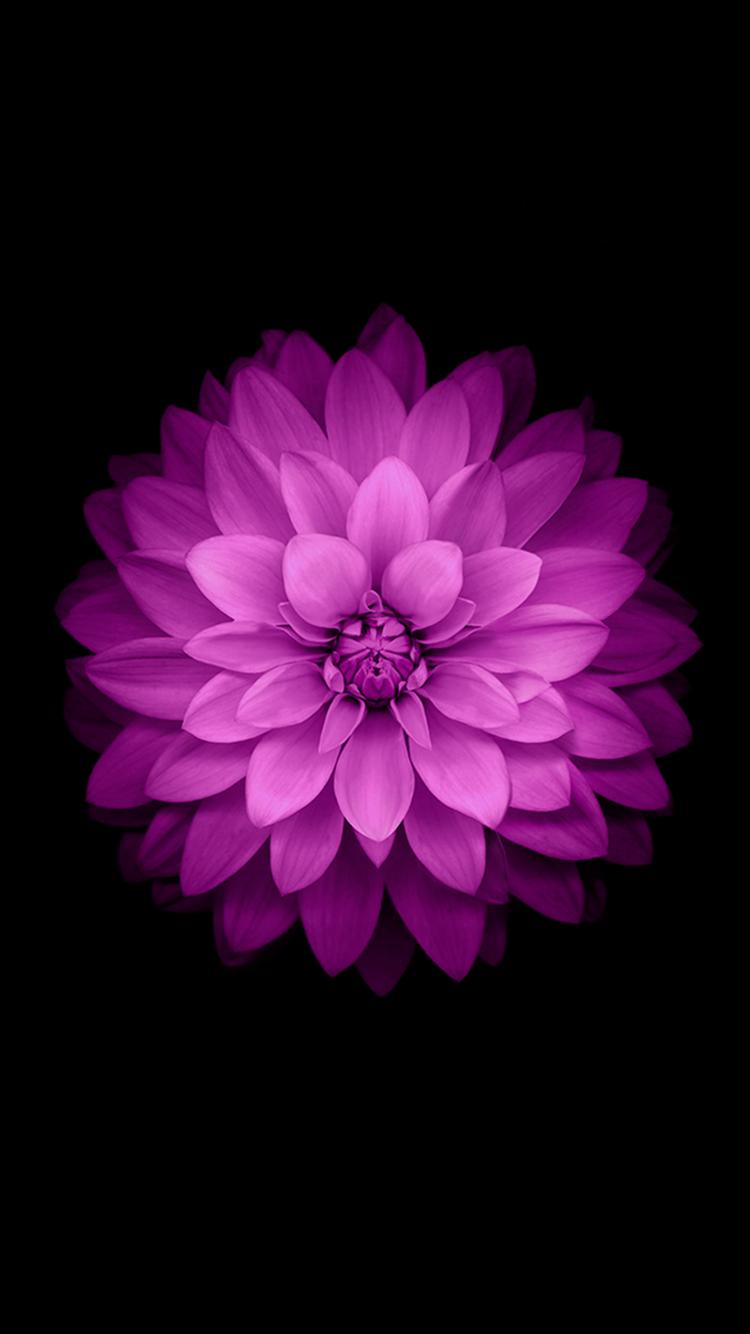 Beautiful Lotus iPhone 6 Wallpaper   123mobileWallpaperscom 750x1334
