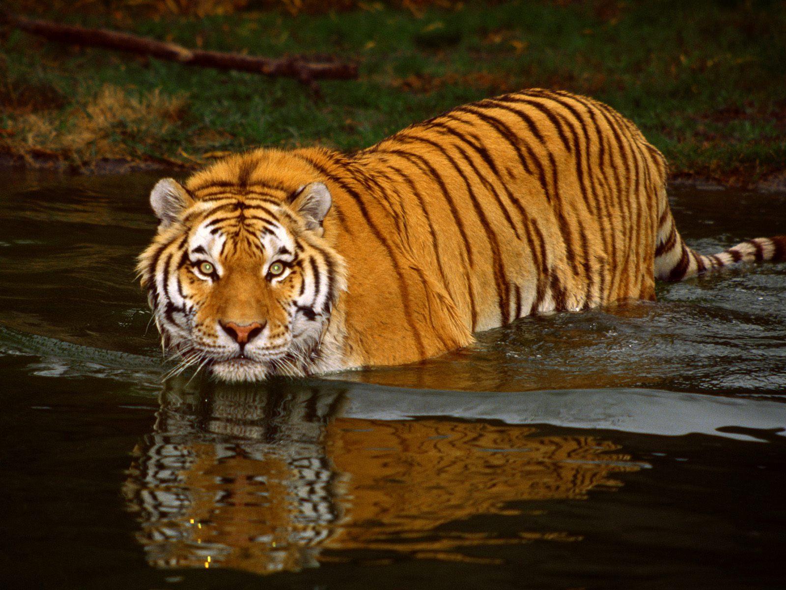 desktop animated tiger wallpapers desktop animated tigers wallpaper 1600x1200