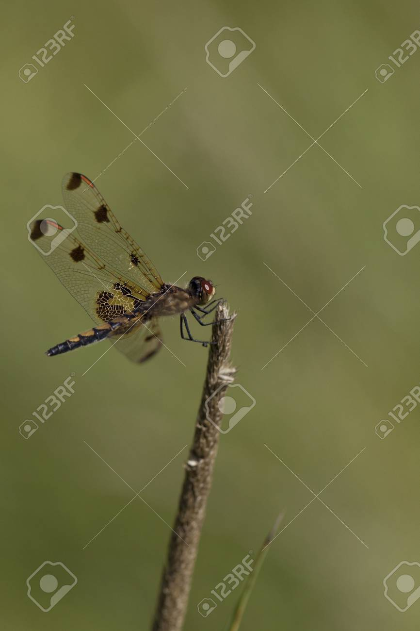 Pretty Dragonfly Clamped On A Twig Isolated On A Blurry 866x1300