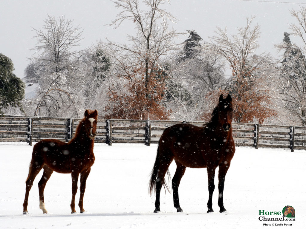 screensaver and desktop wallpapers of winter equine scenery 1024x768