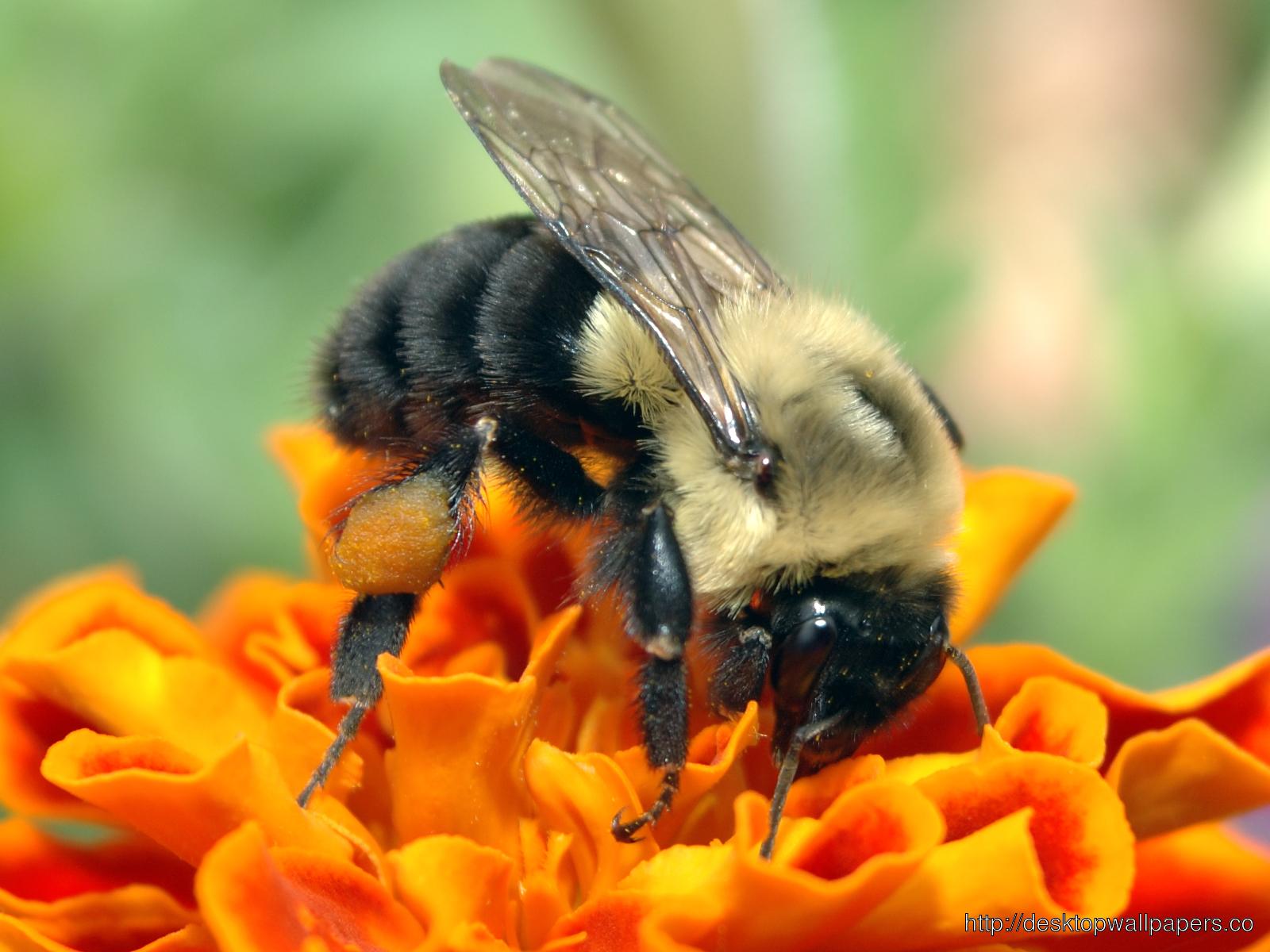 Bee WallpaperDesktop Wallpapers Download 1600x1200