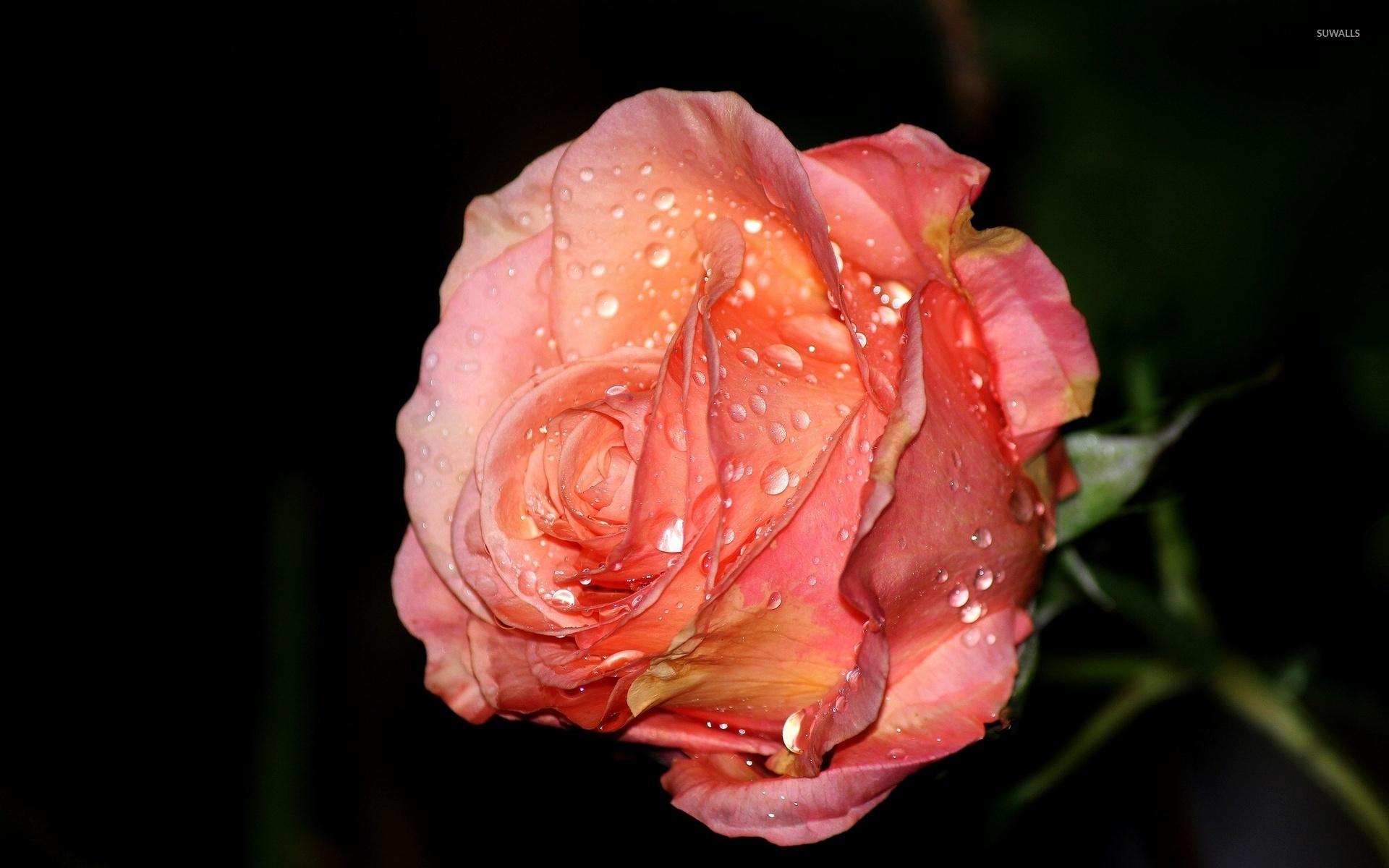Роза с капельками  № 1352937 без смс
