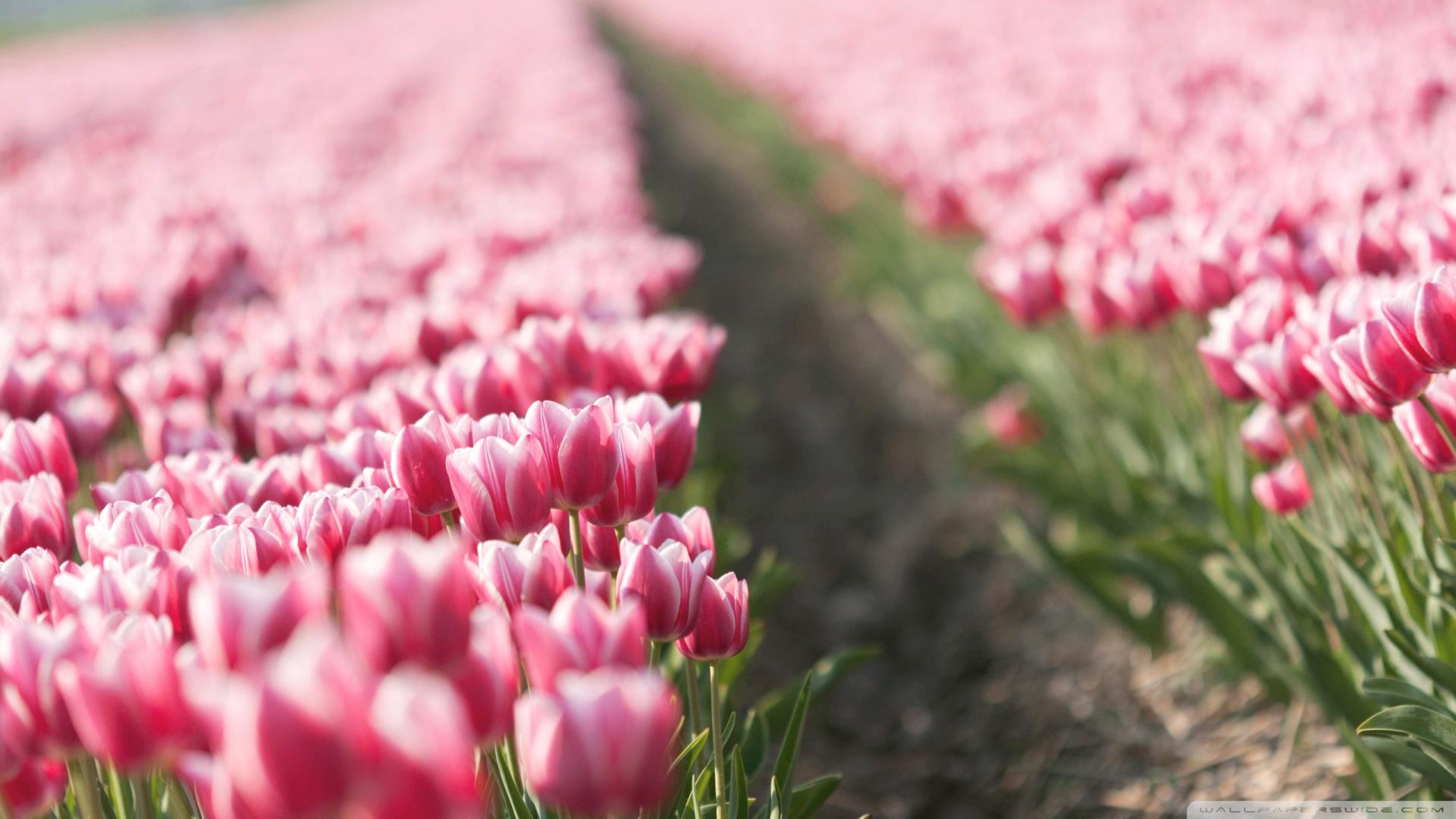 Pink Tulips Wallpaper Iphone Pink tulip field 2 wallpaper 1920x1080