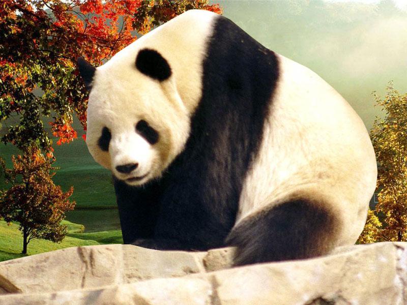 Free Download Panda Desktop Wallpaperscomputer Wallpaper