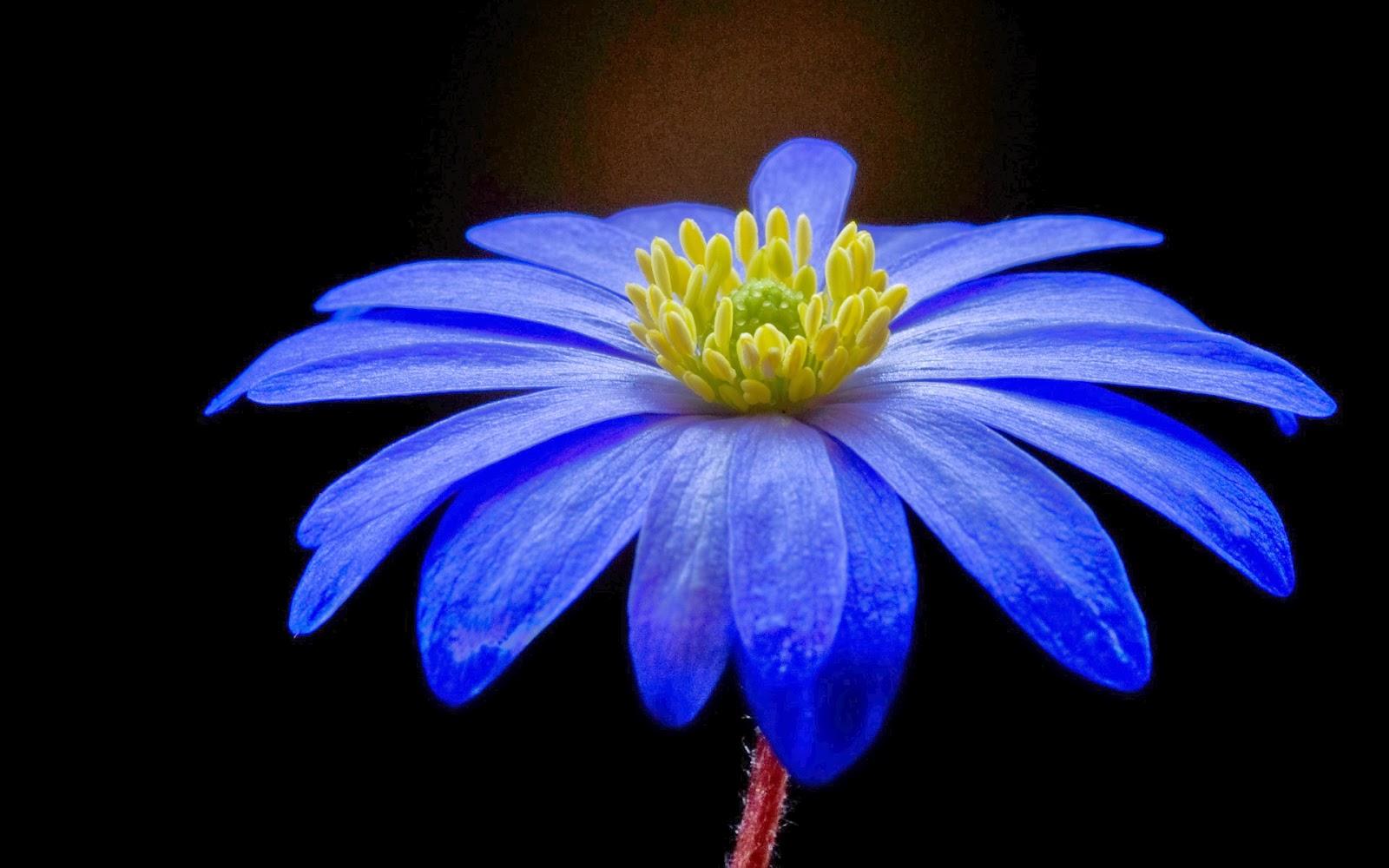 Blue Flower HQ Wallpaper Blue Sunflower HD Wallpaper Beautiful Blue 1600x1000