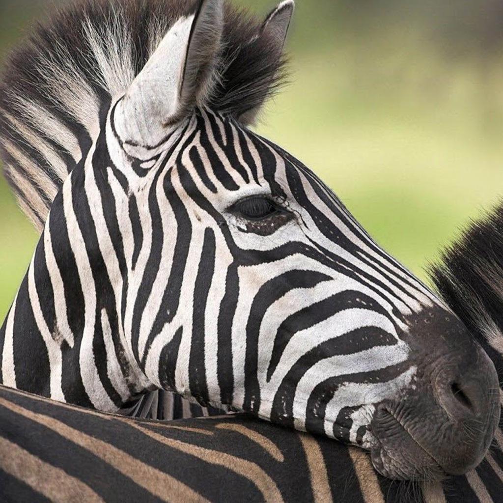 Zebra Stripes Ipad Wallpaper 1024x1024 pixel Popular HD Wallpaper 1024x1024