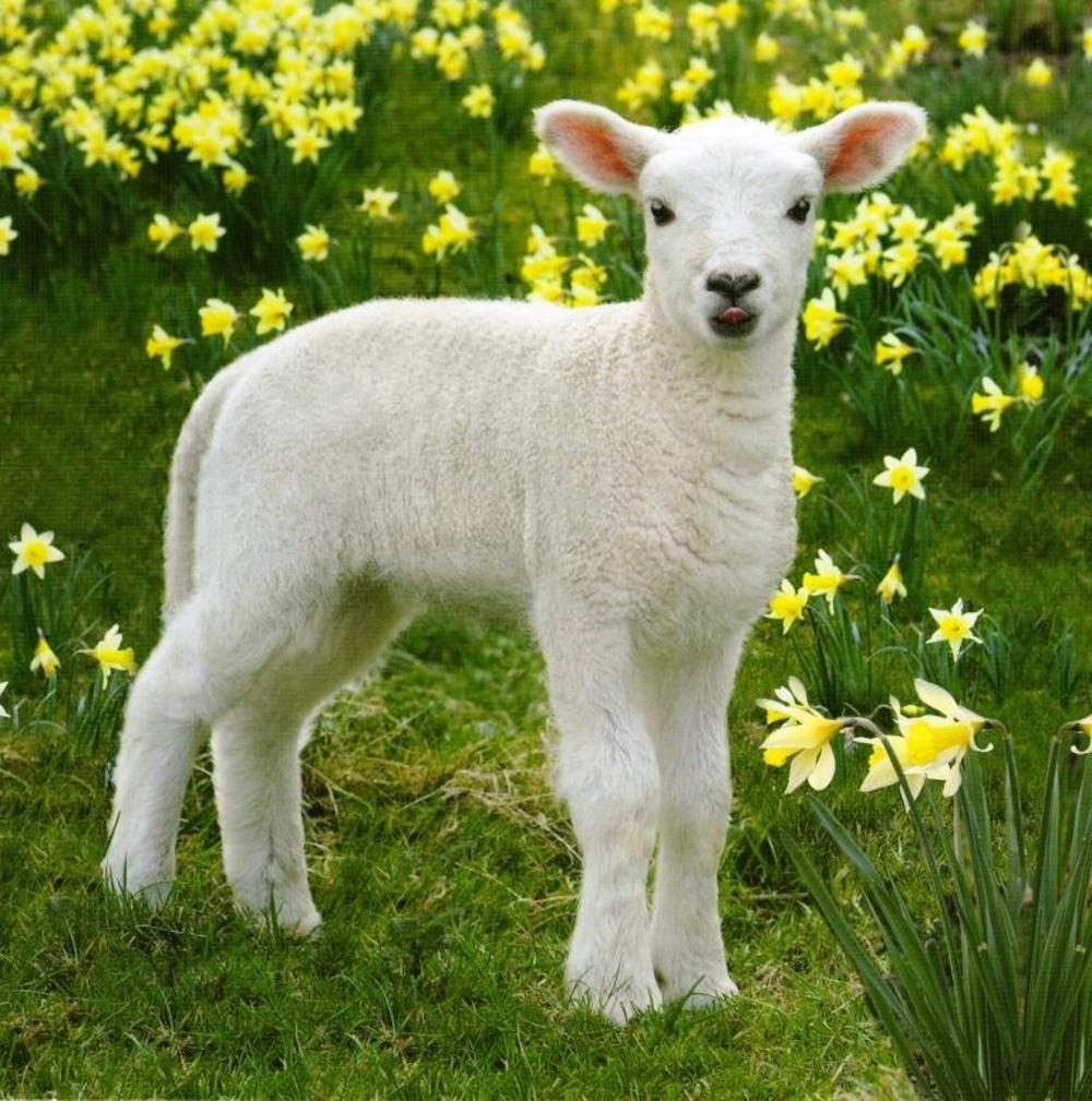 Easter Spring Lamb Photographic Greeting Card Preview 1000x1009