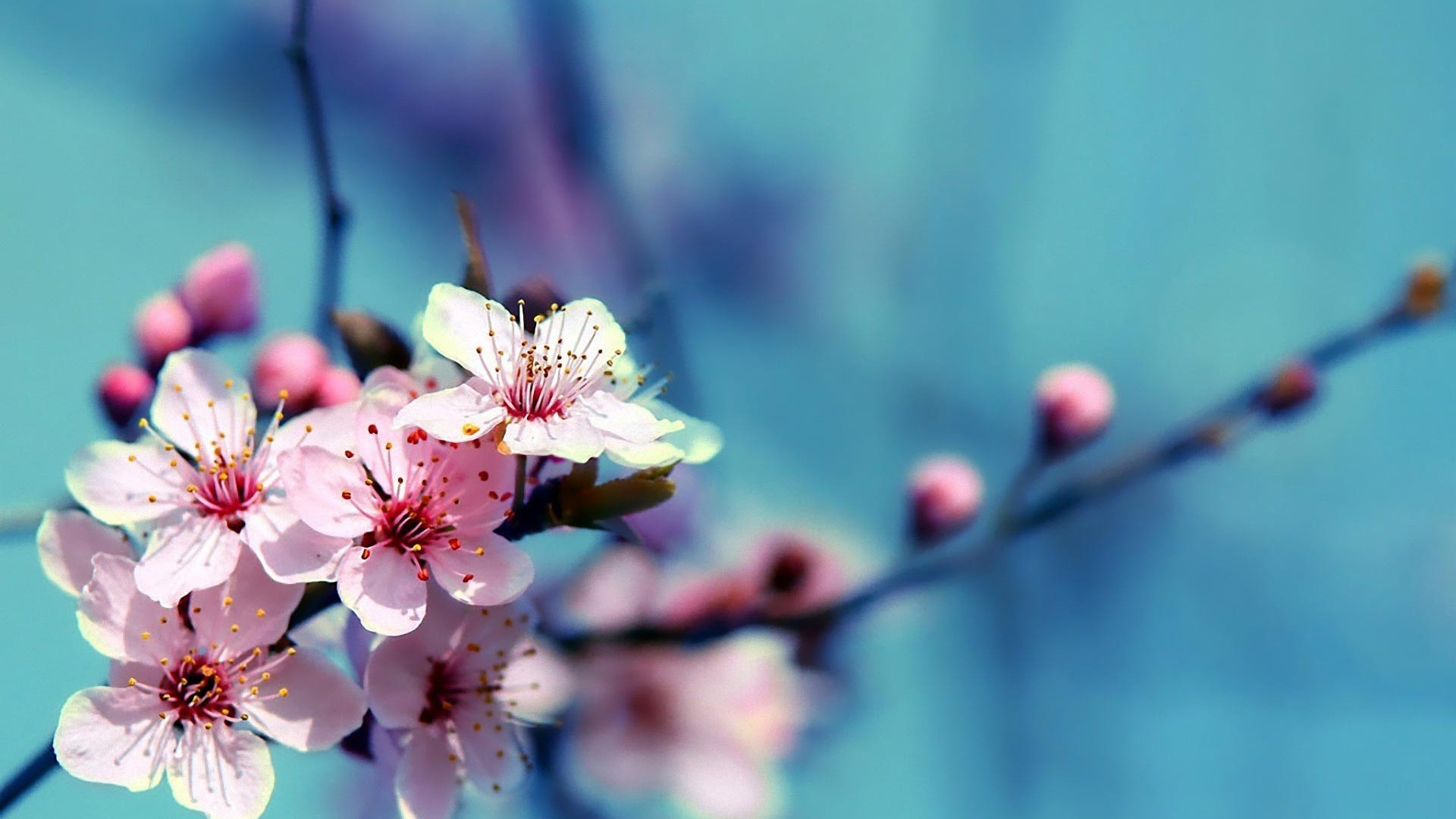 Flowers Cherry Blossom Wallpapers 1920x1080