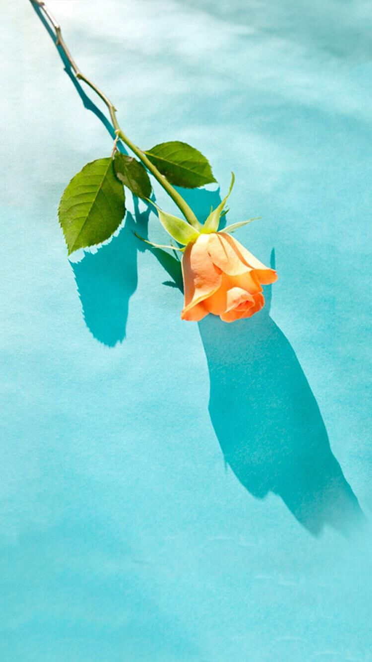 Orange tulip flower with green leaves in a blue background 750x1334