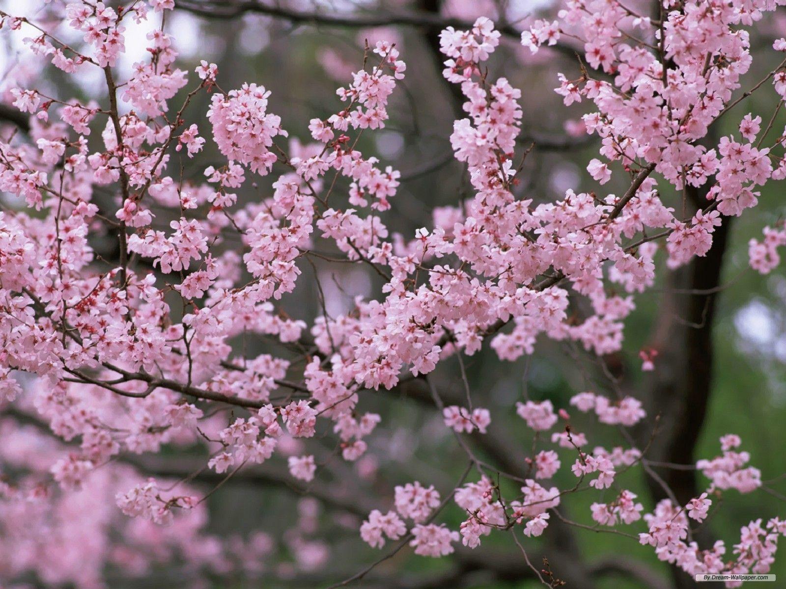 Cherry Blossom Desktop Backgrounds 1600x1200