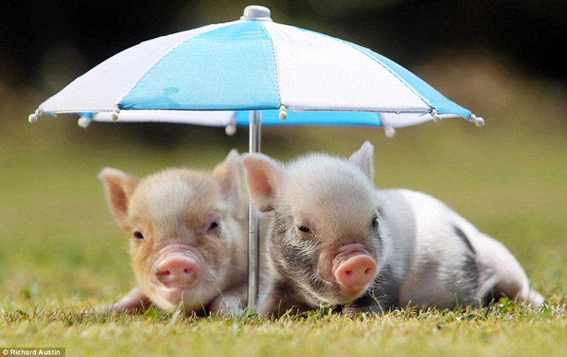 group of cute piglets wallpaper