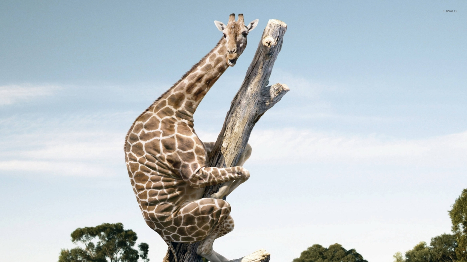 Giraffe on a tree trunk wallpaper   Funny wallpapers   42410 1920x1080