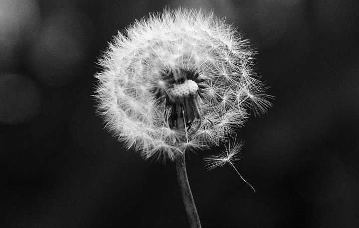 Blowing dandelion black and white - photo#22