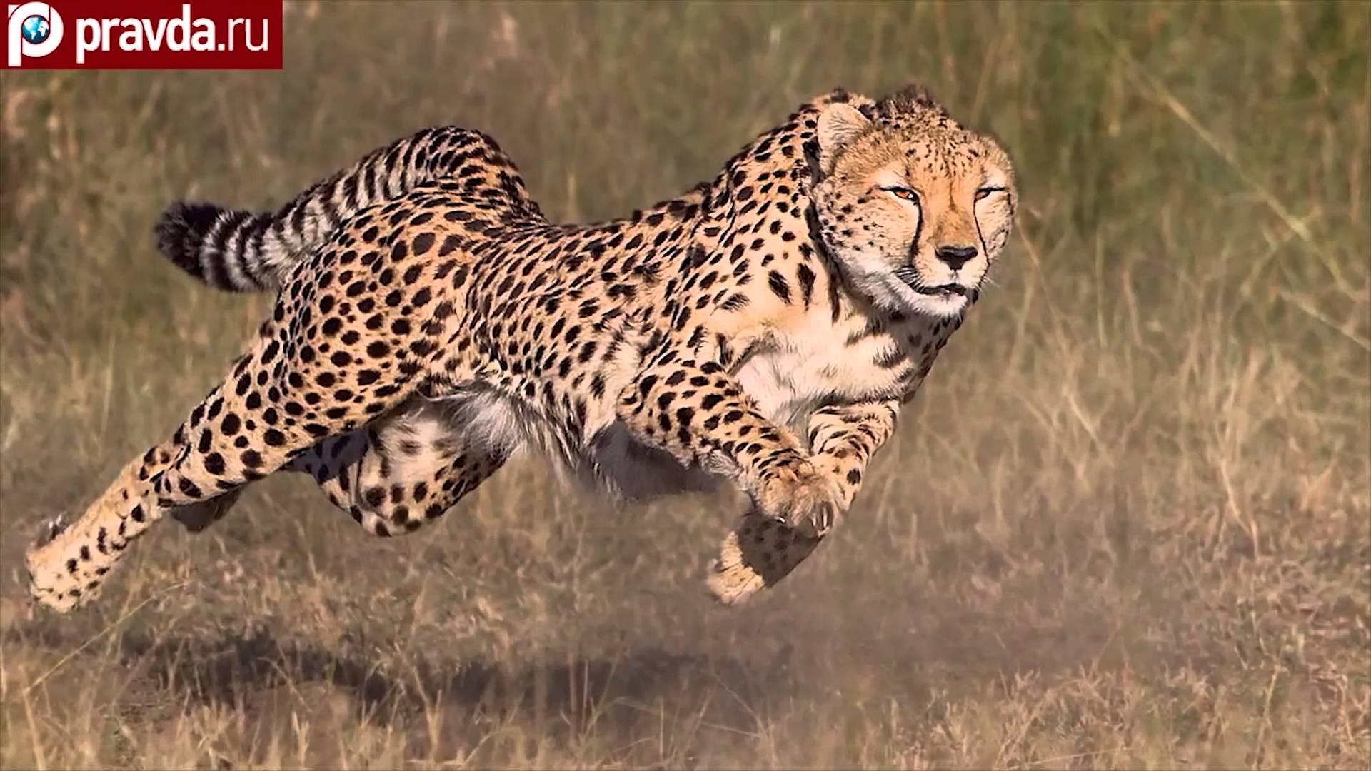 cheetah running wallpaper wallpapersafari