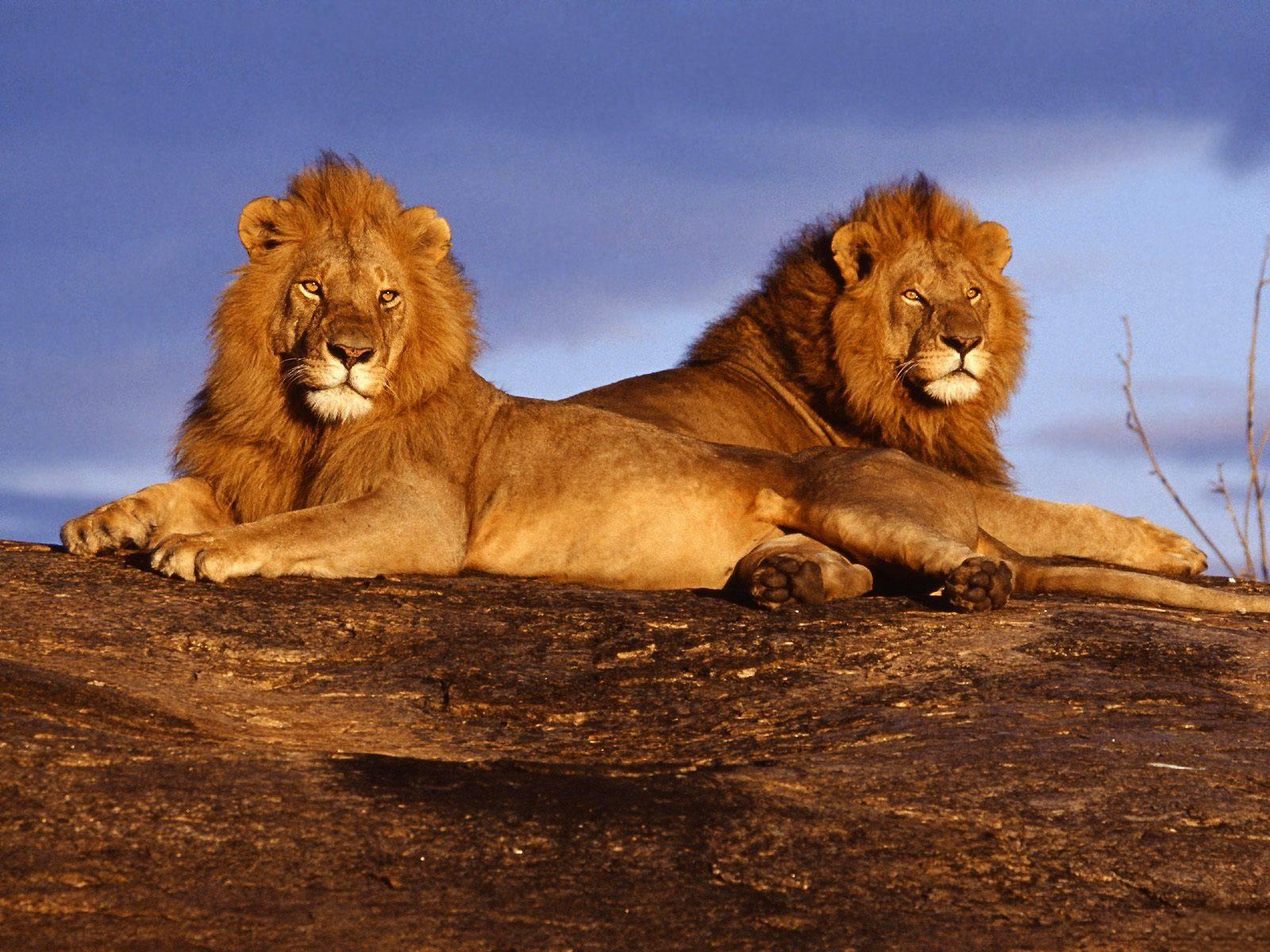 Male lions pics wallpaper 3d hd picture design download for 1600x1200
