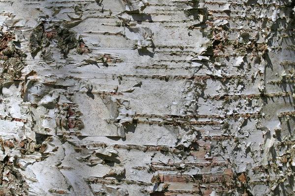 Birch Background Birch bark background bark 600x400