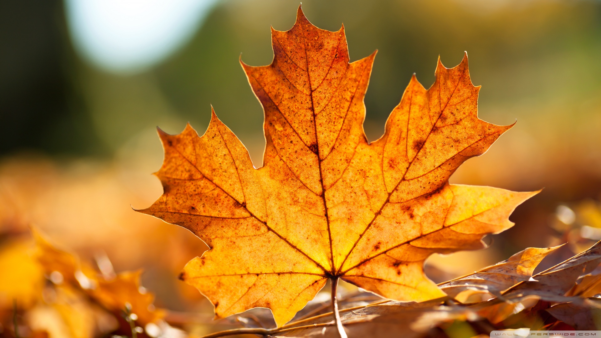 20 Latest Autumn Maple leaves HD Wallpaper 2011 1920x1080