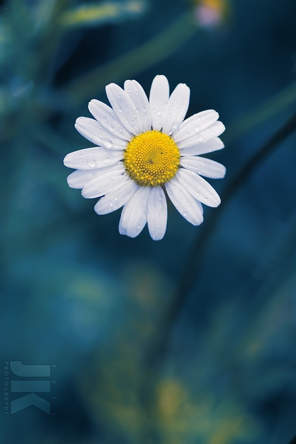 Daisy Flower iPhone 4s Wallpaper Download iPhone Wallpapers iPad 600x900