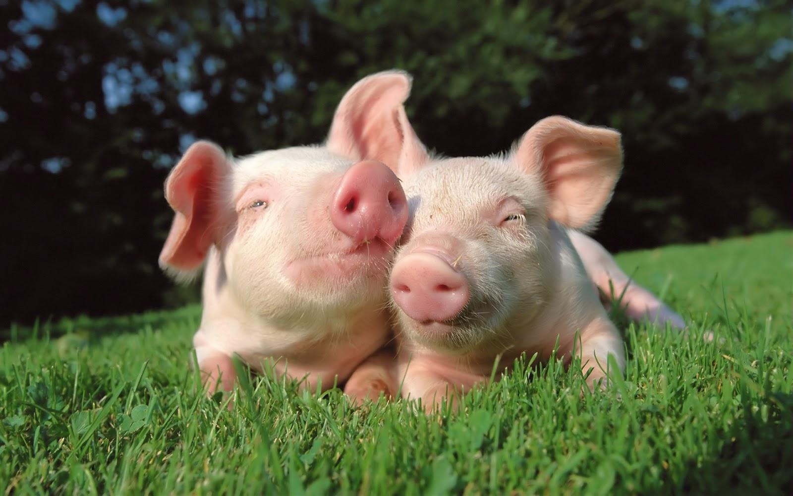 Pigs Wallpaper 1600x1000