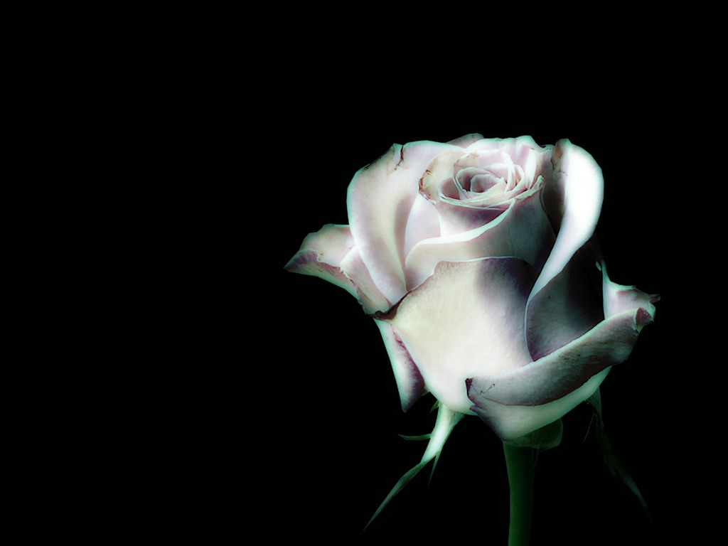 Black And White Roses Wallpaper