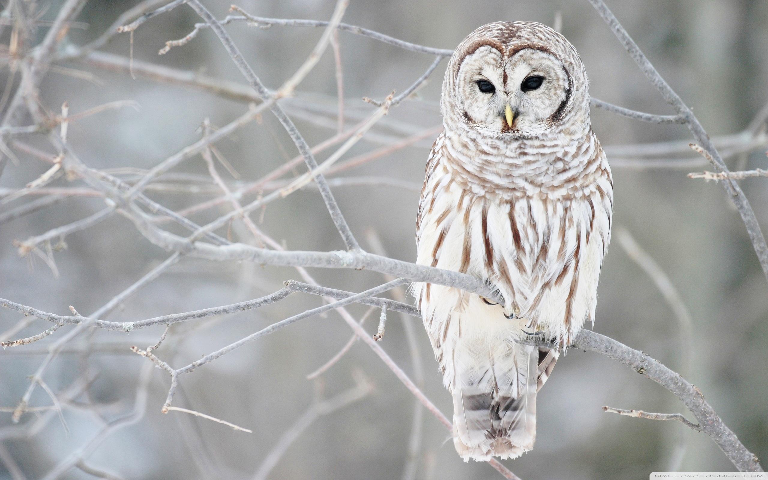 41 Snowy Owl Wallpaper Hd On Wallpapersafari
