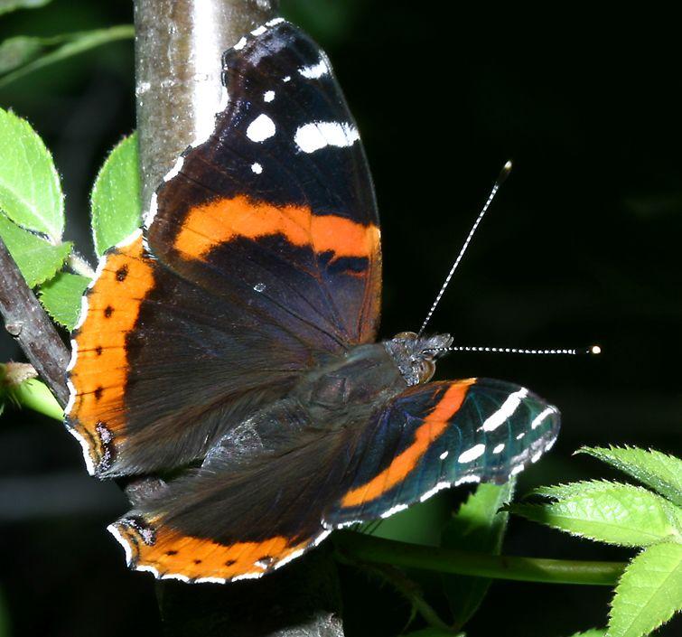 Butterflies of Northern Illinois 755x705