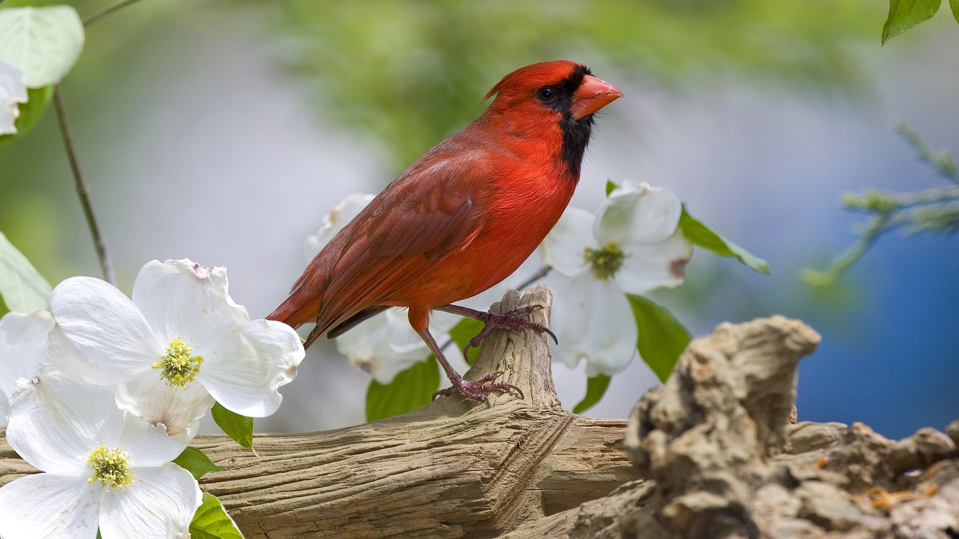 Animal Red Bird HD Wallpaper 1215   Ongur 1920x1080