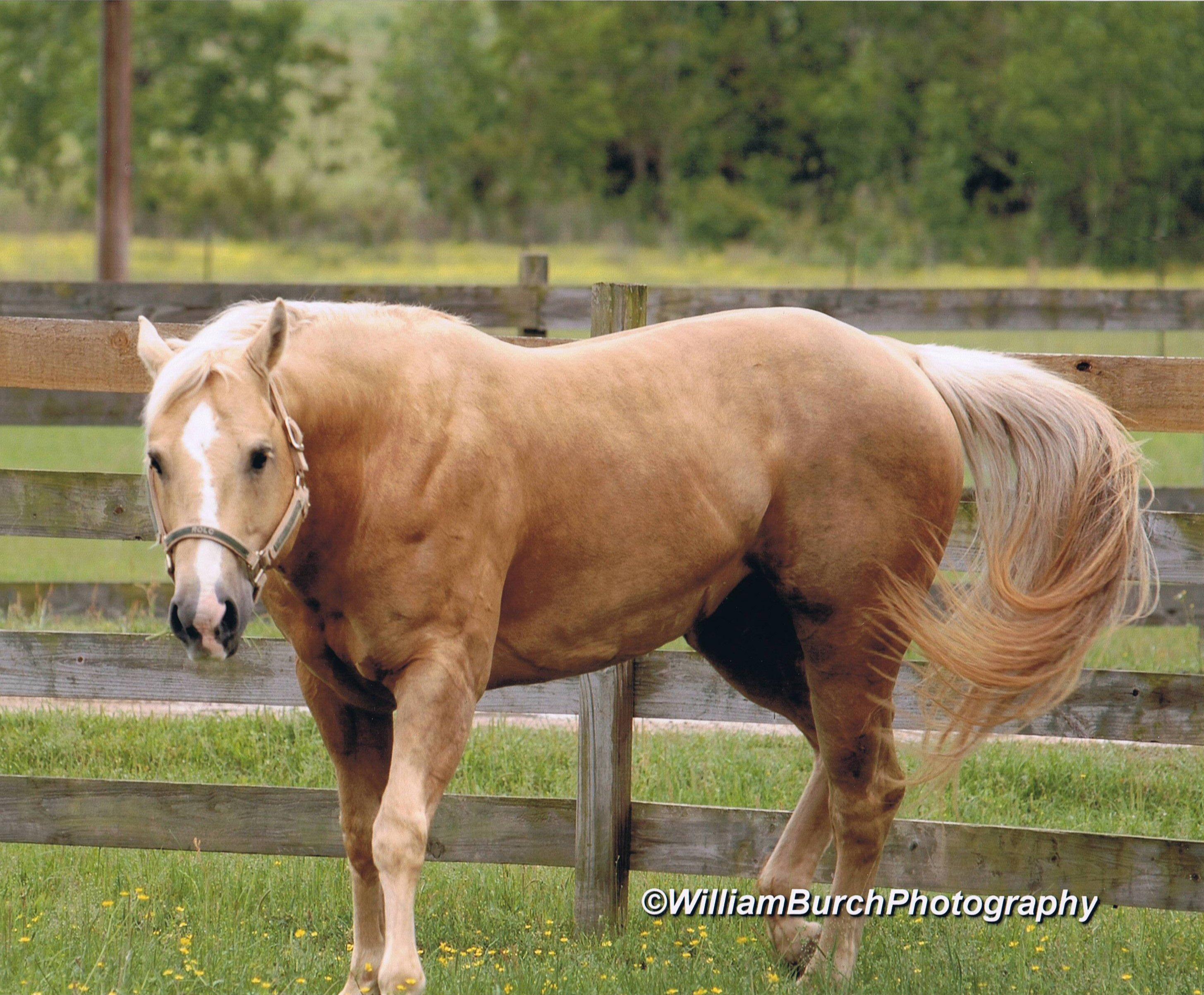 10 Facts About The American Quarter Horse You Probably