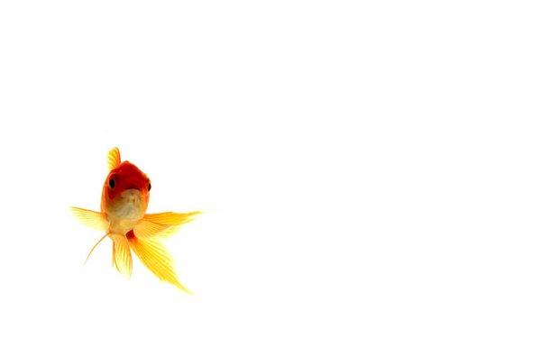 Goldfish Art Wallpaper Goldfish wallpaper trois by 600x375