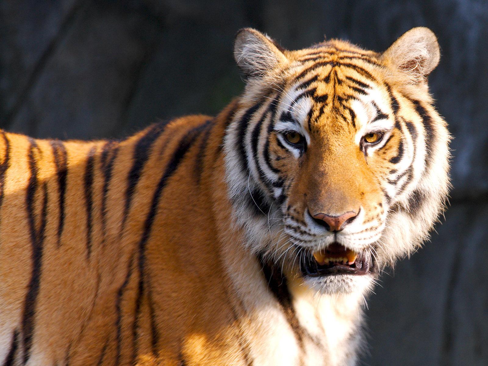 Tiger HD 1600x1200