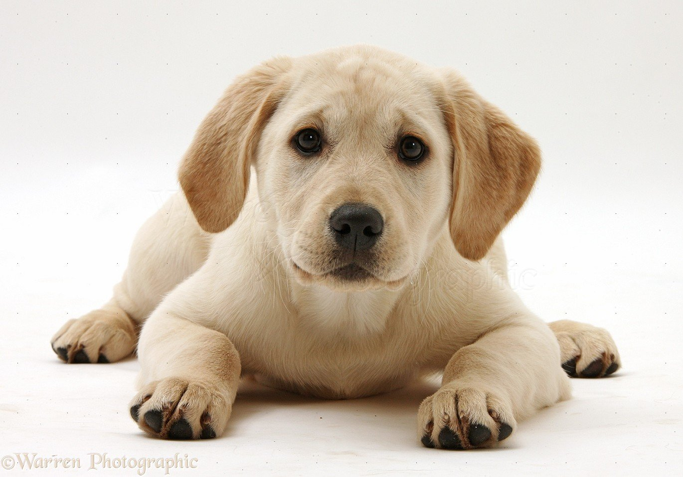 34882 Yellow Labrador Retriever puppy white backgroundjpg 1370x957