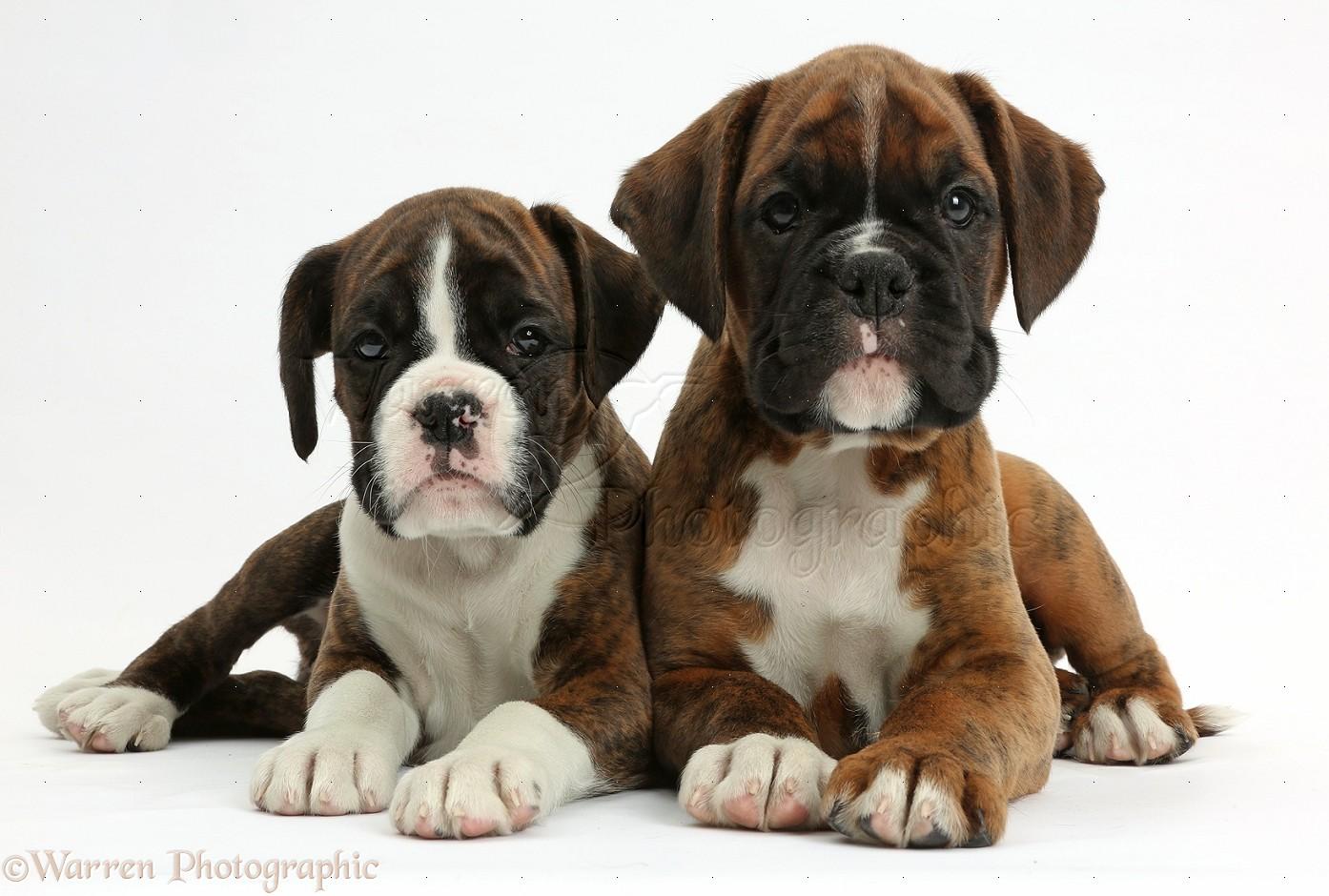 Cute Boxer Puppies Wallpaper Boxer Puppies D...