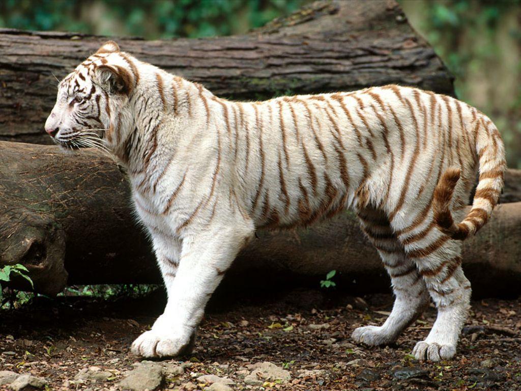 Download Tiger White Wallpaper 1024x768