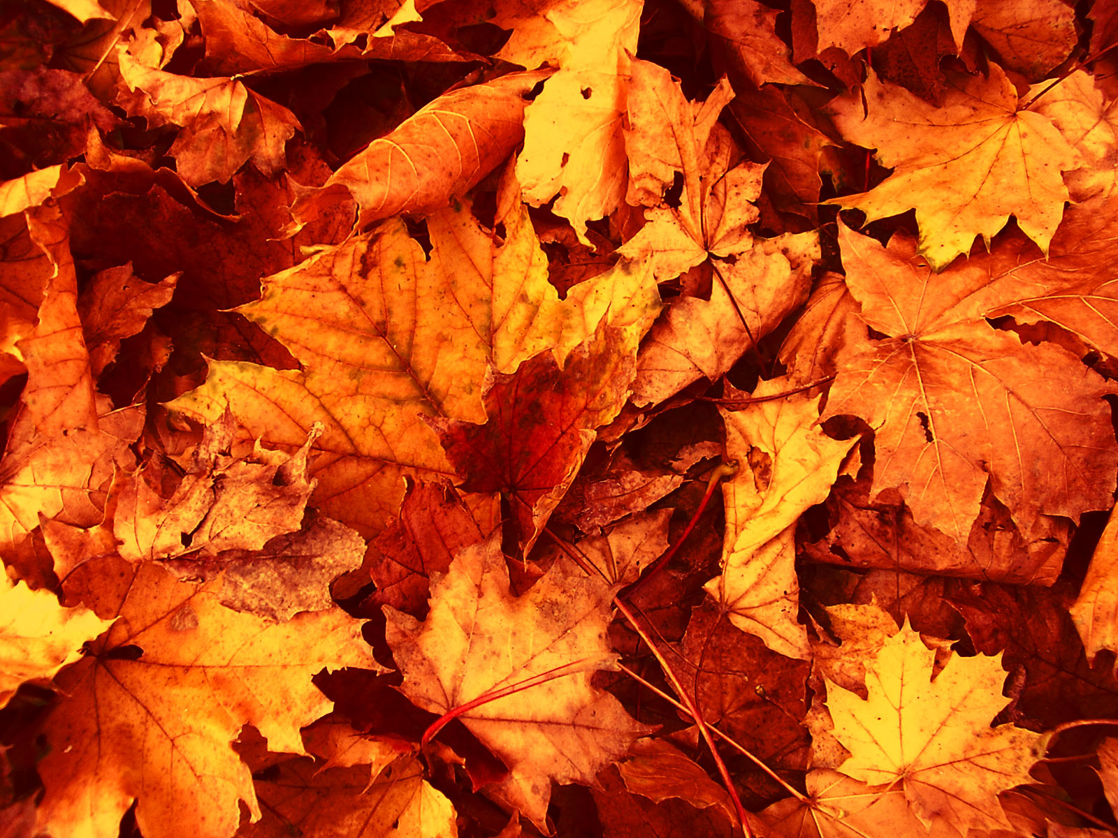 Fall Leaves Wallpaper Related Keywords amp Suggestions 1600x1200