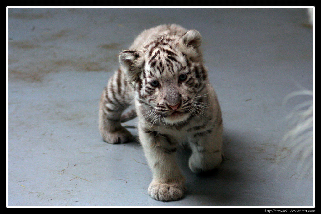 White Tiger Cubs Wallpaper Cute Curious white tiger cub by 1024x682