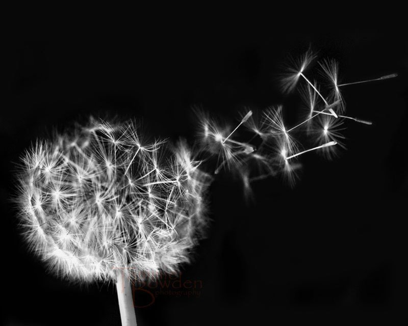Dandelion Blowing Black And White Dandelion seeds black and 800x640
