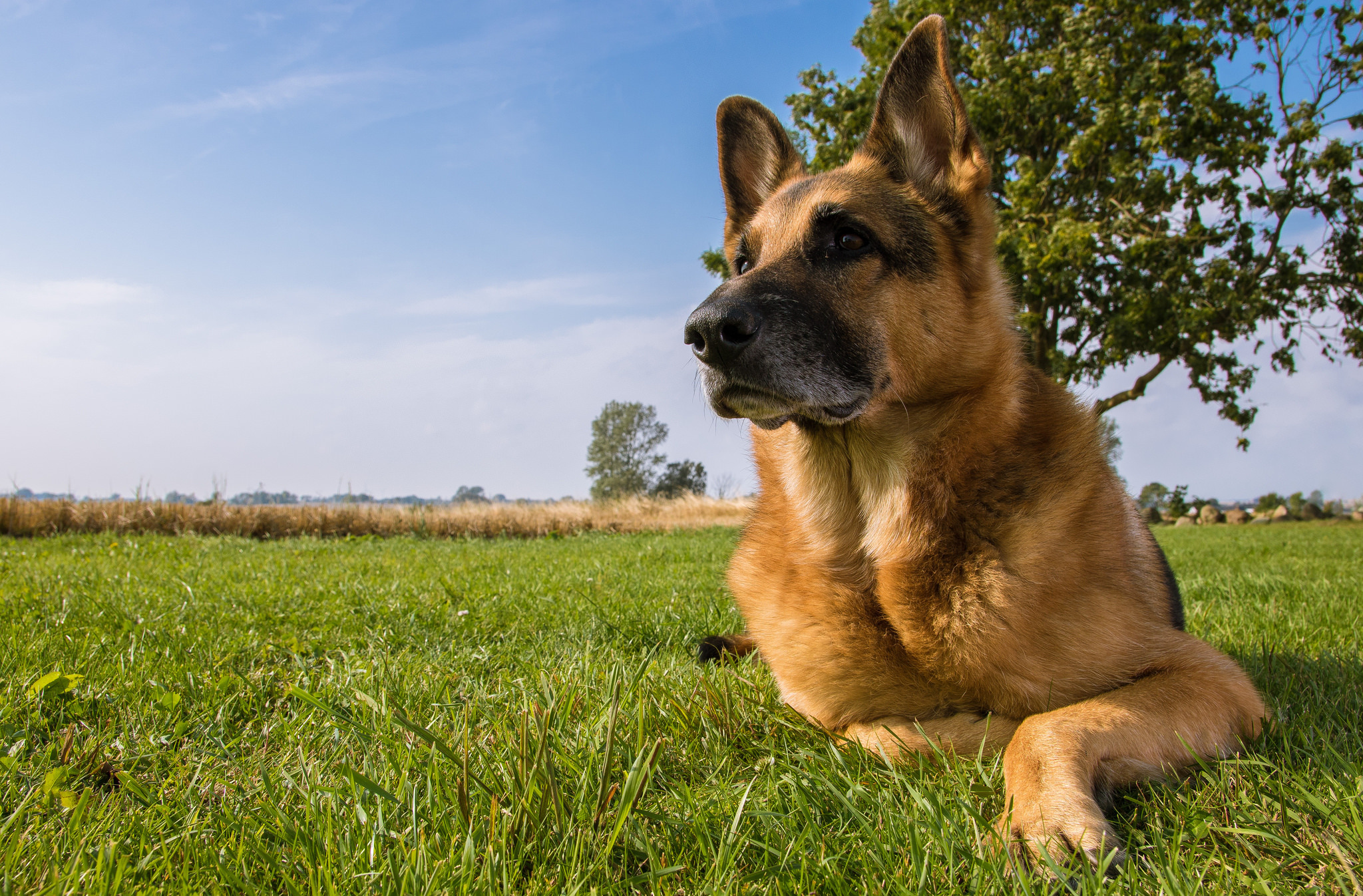 Wallpaper german shepherd shepherd dog dog meadow wallpapers dog 2048x1347