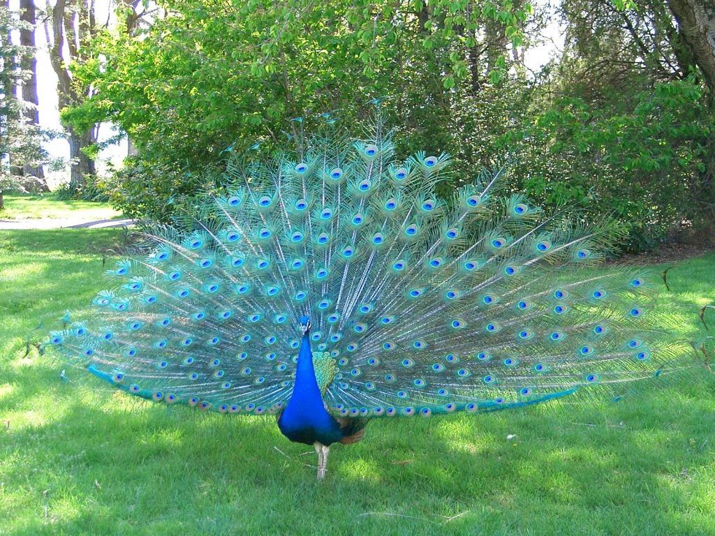 Peacock Blue Wallpaper - WallpaperSafari - photo#20