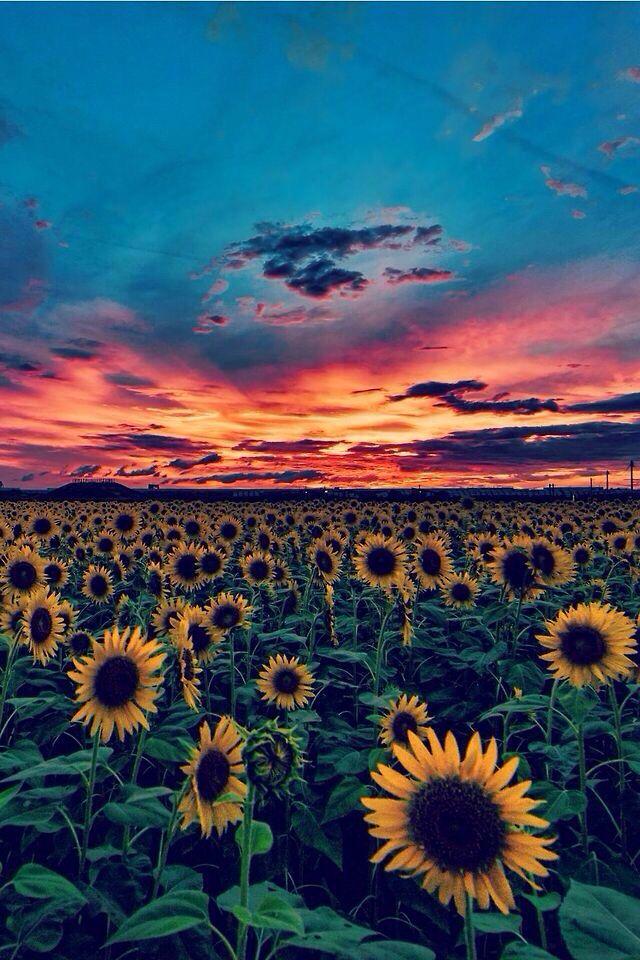 Sunflower sunset background wallpaper com imagens Papel de 640x960