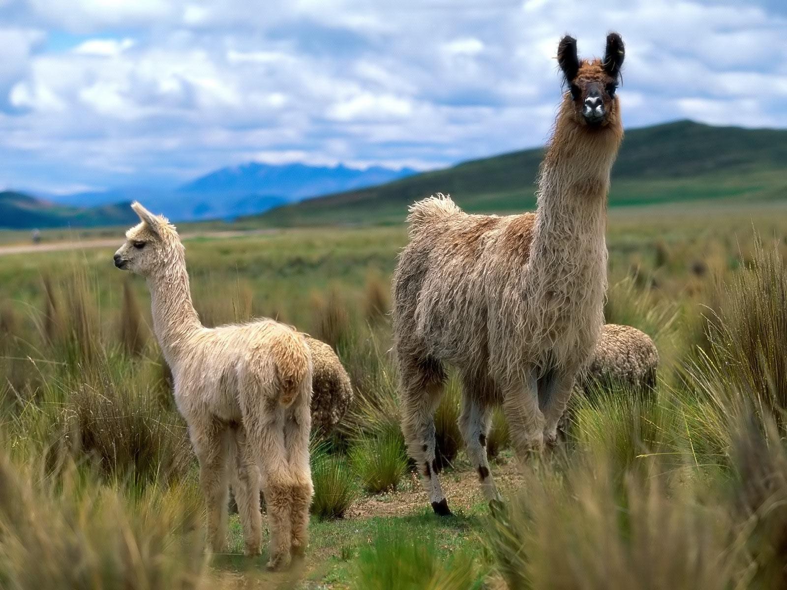 Funny Llama wallpaper for desktop2 1600x1200