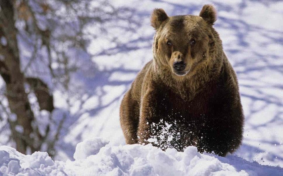 границы таможни бурый медведь шатун зимой фото такие способны полностью