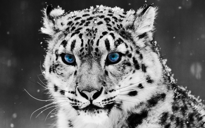 White Tiger Mac Wallpaper Download Mac Wallpapers Download 1440x900